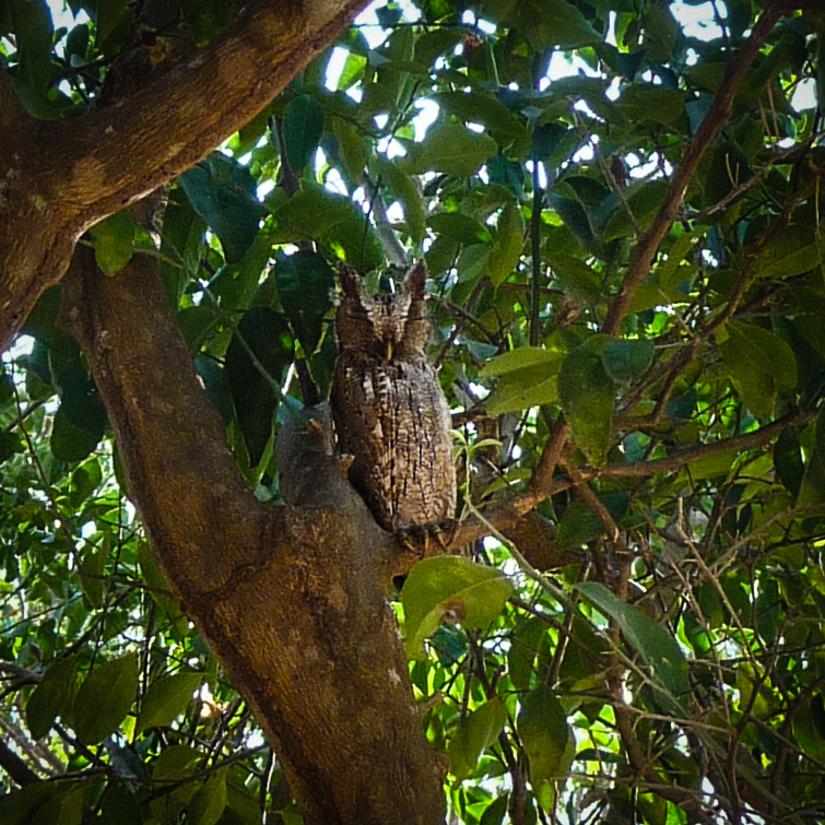 Pacific Screech-Owl at Solimar