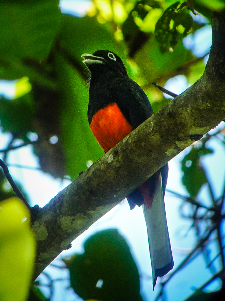 Baird's trogon in the Carara forest