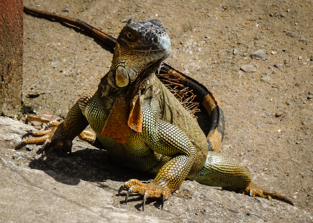 Here's an iguana, there were plenty more.