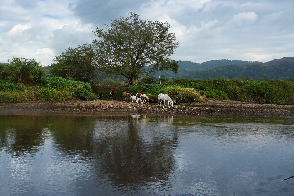 Tarcoles River: wild horses coming down to drink